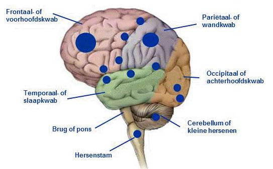 delen hersenen en functie